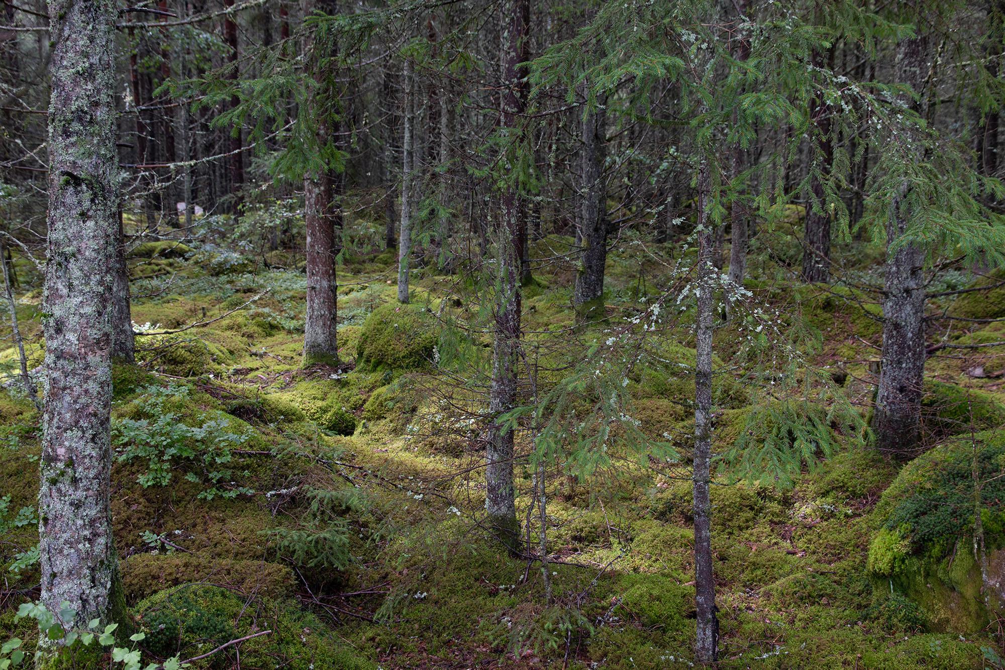 Moos und Heidelbeeren statt Unterholz