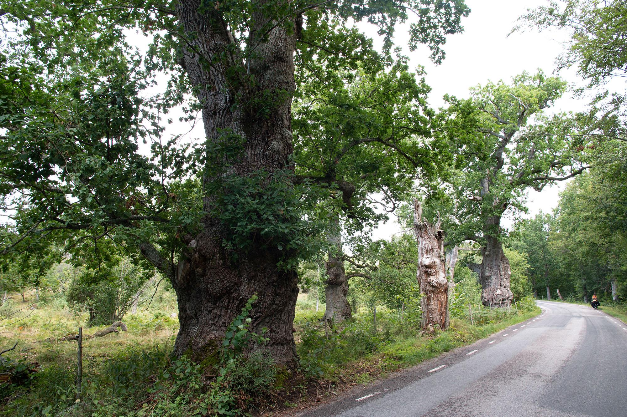 Eichen im Grindstugans Naturreservat